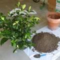How to care for a gardenia Photo - 1