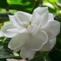 How to care for a gardenia plant Photo - 1