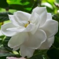 How to care for gardenia Photo - 1
