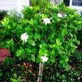 How to care for gardenias Photo - 1