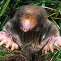 How to get rid of garden moles Photo - 1