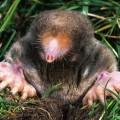 How to get rid of garden moles Photo - 1