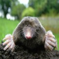 How to get rid of moles in garden Photo - 1