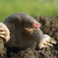 How to get rid of moles in the garden Photo - 1