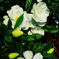 How to grow a gardenia Photo - 1