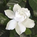 How to grow gardenia Photo - 1