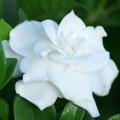 How to grow gardenias Photo - 1