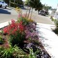How to grow gardenias in pots Photo - 1