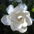 How to grow gardenias outdoors Photo - 1