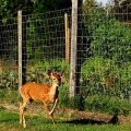 How do you keep deer out of your garden large and beautiful