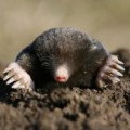 How to keep moles out of garden Photo - 1