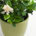 How to plant a gardenia Photo - 1