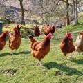 Best backyard chicken Photo - 1