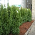 Privacy landscaping for backyard Photo - 1