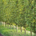 Trees for backyard privacy Photo - 1