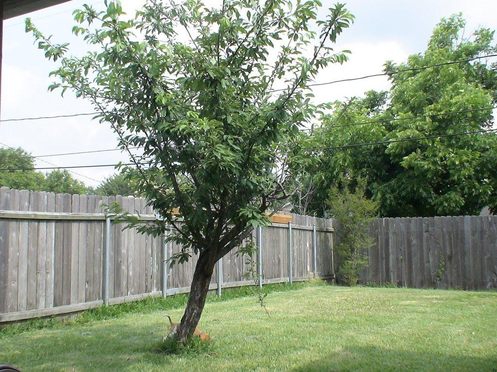 backyard tree photo - 2