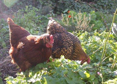 best backyard chicken breeds photo - 1