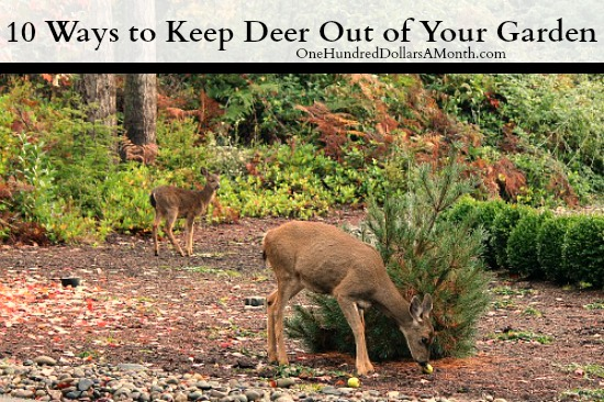 How do i keep deer out of my garden large and beautiful photos