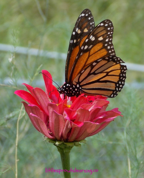 how to attract butterflies to your garden photo - 2