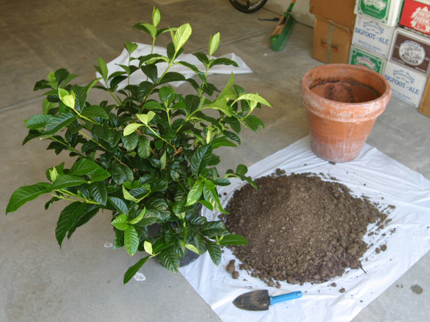 how to care for a gardenia photo - 1
