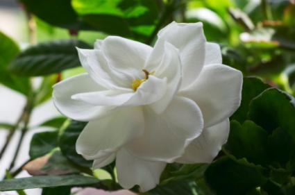 how to care for a gardenia plant photo - 1