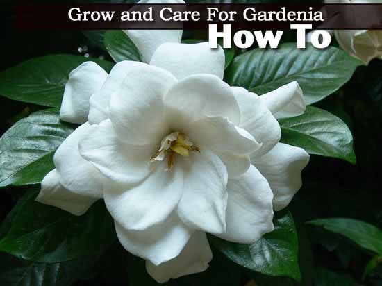 how to care for a gardenia plant photo - 2