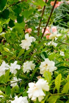 how to care for gardenia plant photo - 1