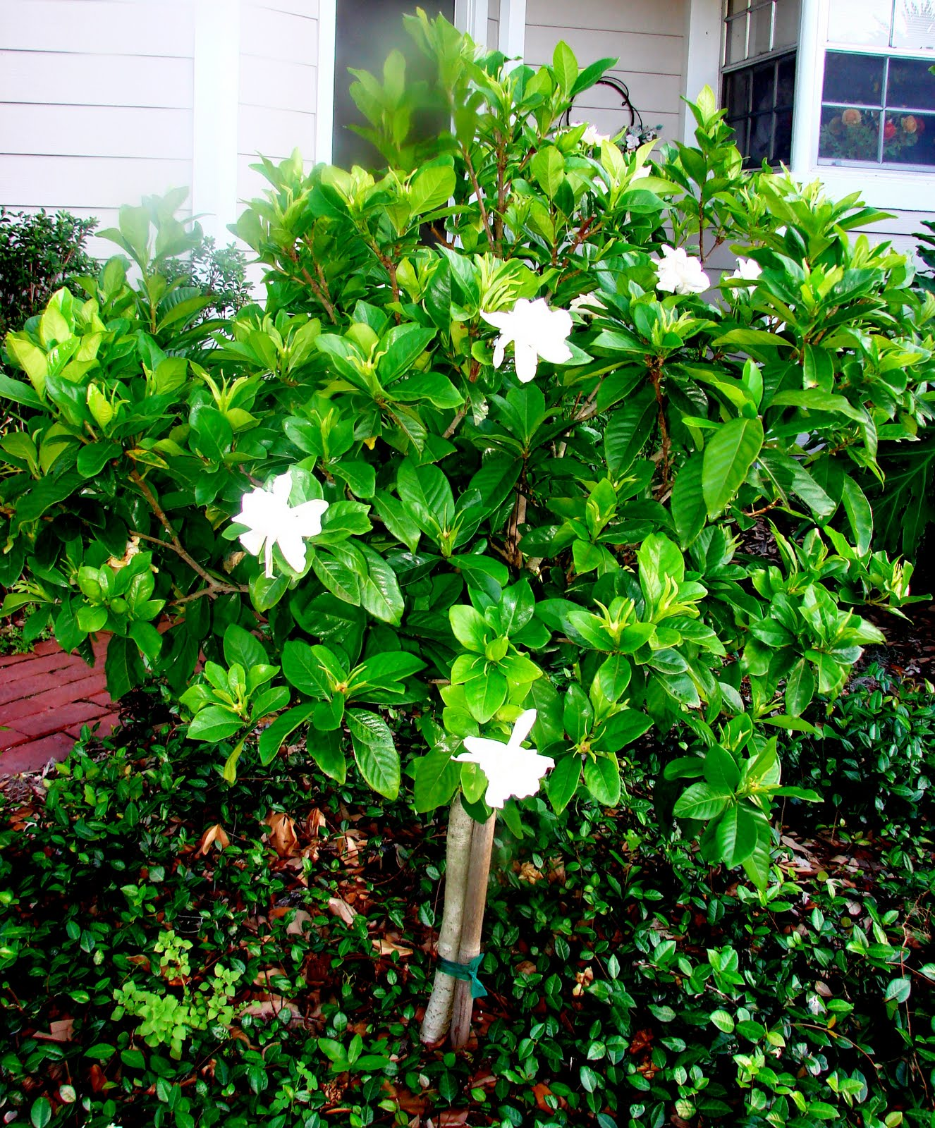 how to care for gardenias photo - 1