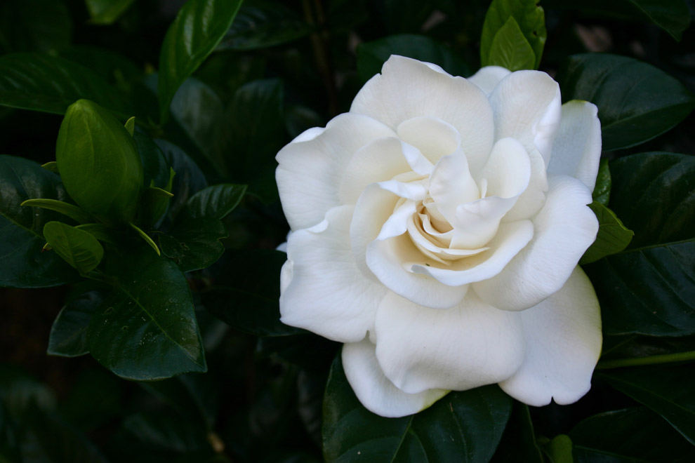 how to care for gardenias photo - 2