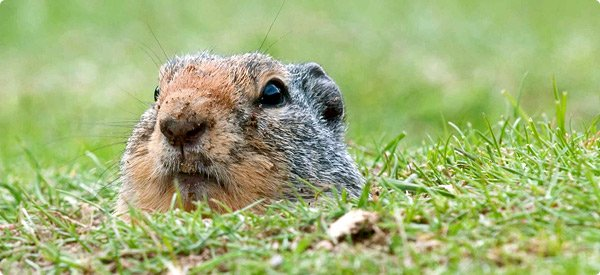 how to get rid of gophers in my garden photo - 2