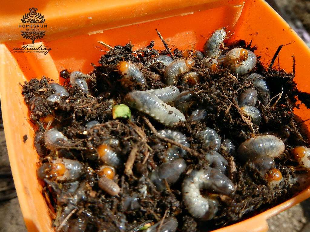 how to get rid of grubs in garden photo - 1