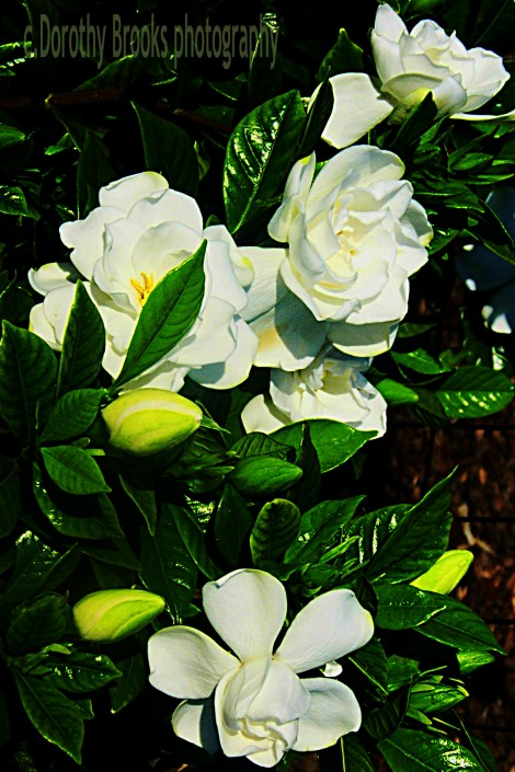 how to grow a gardenia photo - 1