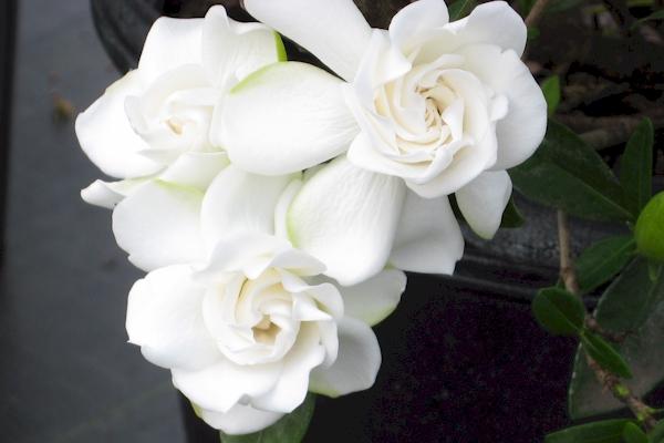 how to grow gardenia photo - 2