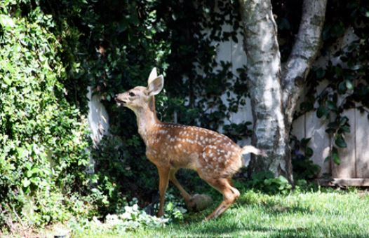 how to keep deer out of garden photo - 2