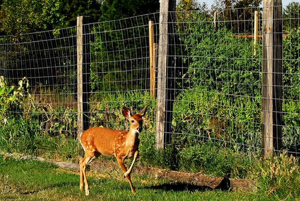 Good How To Keep Deer Out Of The Garden
