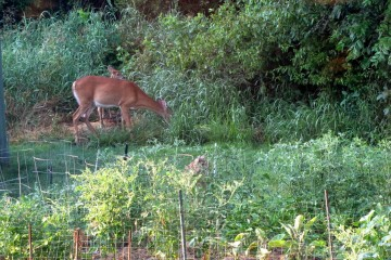 How to keep deer out of vegetable garden large and beautiful