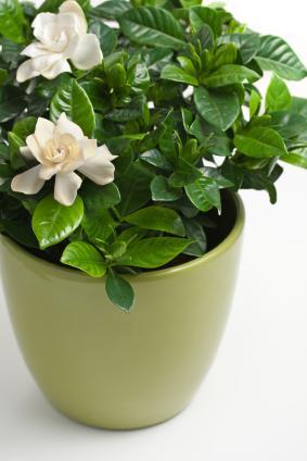 how to plant a gardenia photo - 1