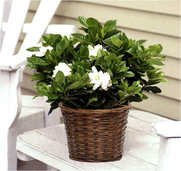 how to take care of a gardenia plant photo - 2