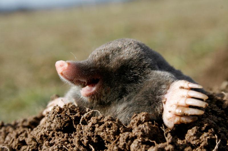 moles in backyard photo - 2