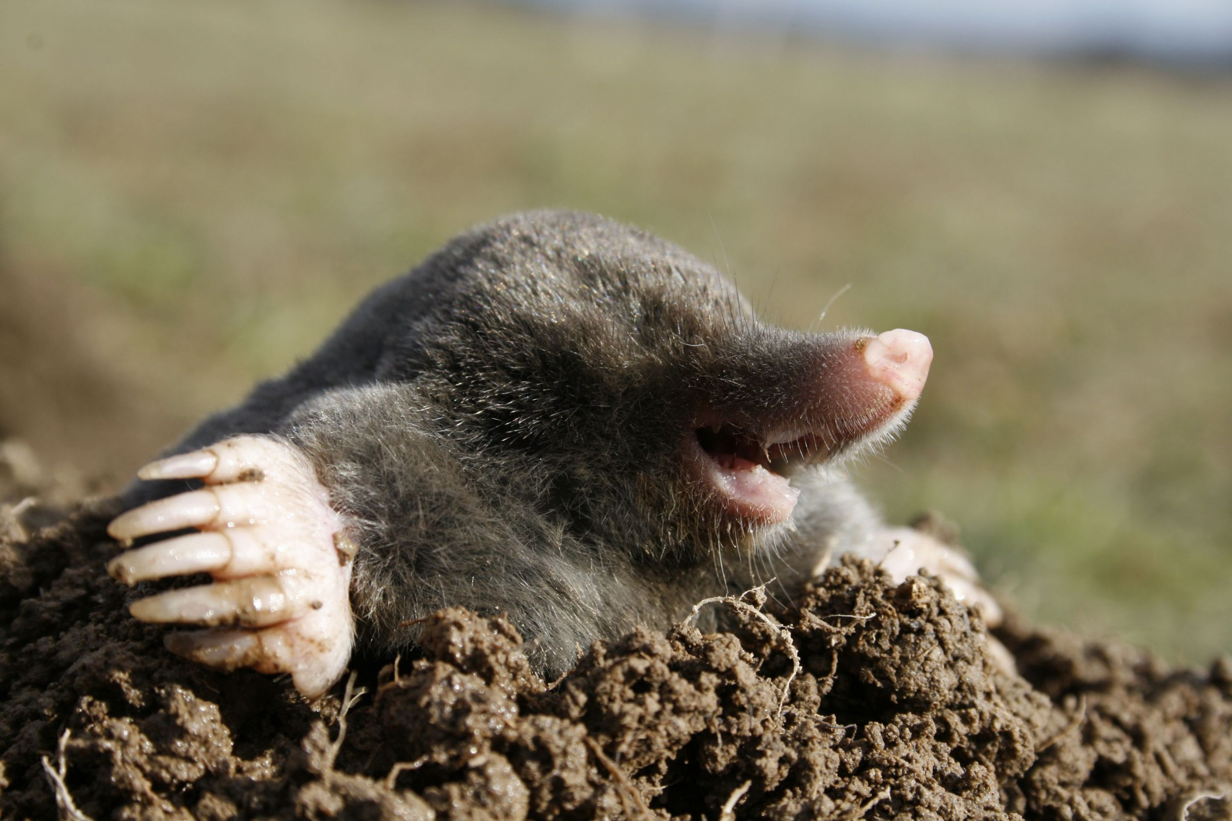 moles in the garden how to get rid of them photo - 1