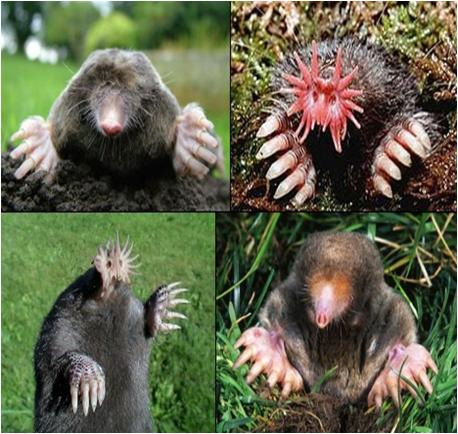 Moles In The Garden How To Get Rid Of Them Large And