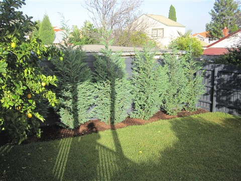 trees for small backyards photo - 2